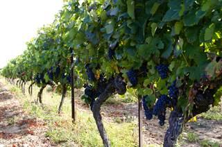 IGP Vin des Cévennes