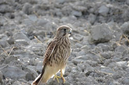 Rapace faucon crécerelle en Camargue ©