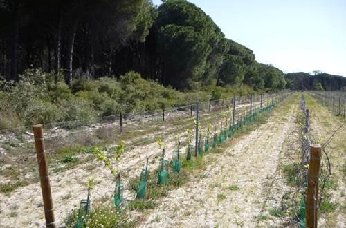 8c-Paysage viticulture de sable ©
